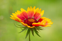 Colorful Yellow-orange Gaillardia (Gaillardia X Hybrida) On A Natural Green Background Close-up. Macro Photo.