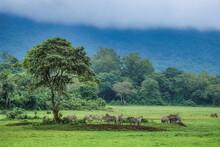 Zebra Herd Resting In Green Meadow Under Tree In Front Of Foggy Rain Forest