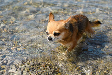 A Wet Little Chihuahua Dog Comes Out Of The Sea After Swimming.