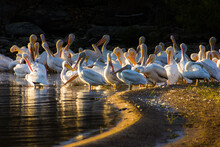 A Wide Angle Shot Of A Group Of Pelicans On A Lake