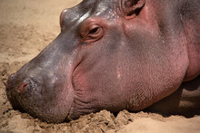 Close Up Of The Head Of An Hippopotamus Sleeping On The Sand