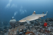 Close Encounter With White Tip Reef Shrak With Scuba Diver , Gili Island Lombok - Indonesia