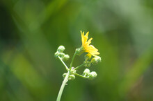 Common Sowthistle In Bloom Closeup View With Selective Focus