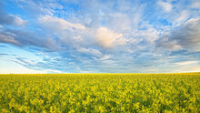 A Path Through Blooming Canola Fields Under A Blue Sky With Clouds.