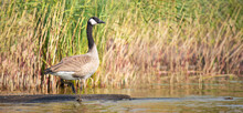 Canada Goose (Branta Canadensis) Standing On A Rock In Front Of The Reeds