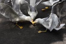 Flock Of Seagulls Fighting For Fish On The City Street. One For Two Concept