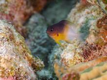 Bicolor Damselfish Lurking Between Rocks (Grand Cayman, Cayman Islands)