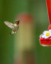 Colorful Male Ruby Throated Hummingbird At Feeder