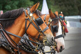 Fototapeta Młodzieżowe - Horses during parade with blinders on
