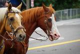 Fototapeta Młodzieżowe - Horses with harness on