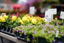 Plants In Garden Center Or Street Market. Sale Of Varietal Seedlings Of Flowers In Pots. Sprouts Of Dahlias. Season Of Planting Flowers.