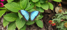 Closeup Shot Of A Blue Butterfly On Leaves In A Garden
