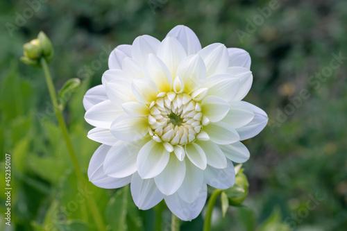 Fotografie, Obraz Closeup of a white dahlia blossom.