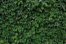 Green Natural Full Frame Background Of Lush Ivy Growing On Wall In Summer