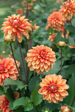 Orange Stellar Dahlias And Foliage