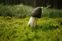 Phallus Impudicus Mushroom Growing On Lush Green Moss