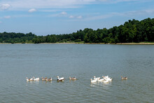 Adorable Geese Swim Across Freeman Lake In Elizabethtown, KY On A Beautiful Sunny Summer Day.