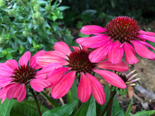 Pink Echinacea In Flower In Late Summer In A Garden In England, United Kingdom