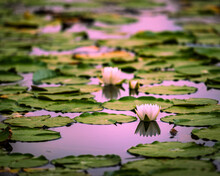 Lilly Pads On The Lake With A Reflection