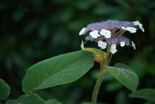 Gemeiner Schneeball, Viburnum Opulus Als Dekorative Blume Oder Staude In Einem Park Oder Garten