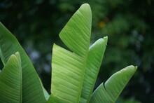 Bananen Staude Mit Grünen Frischen Blättern Zur Sommerzeit
