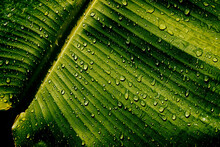 Water Drops On Banana Palm Leaf, Purity Nature Background