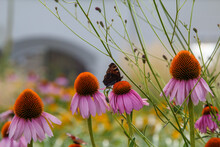 Butterflies Collect Nectar On Pink Flowers In A City Park.
