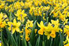 Field Of Yellow Miniature Daffodil Flowers In Bloom With Blurred Background