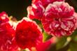 czerwone róże na rozmytym tle w ogrodzie