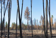 Aftermath Of A Forest Fire, Charred Tree Trunks And Shadows