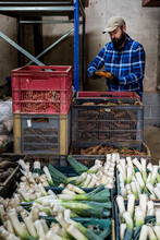 Farmer In A Barn Packing Freshly Picked Leeks And Root Vegetables Into Crates.