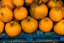 High Angle View Of Freshly Picked Pumpkins On A Blue Wooden Pallet.