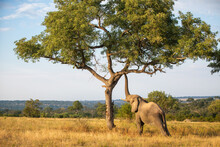 An Elephant, Loxodonta Africana, Raises Its Trunk To A Branch In A Tree