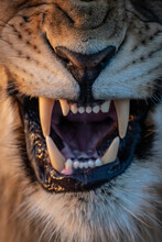 The Mouth Of A Snarling Lion, Panthera Leo