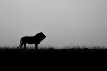 Silhouette Of A Male Lion, Panthera Leo, Black And White