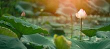 Close-up Beautiful Pink Lotus Is A Backdrop Of Green Leaves And Warm Light In Natural Swamps.