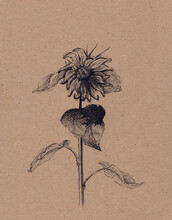 Hand Drawn Ink Sketch Of Sunflower On Vintage Paper. Sunlit Autumn Flower. Post Card, Poster, Book Illustration Element. Cute Peaceful Garden Plant. Calm Serene Vertical Artwork. Countryside Scenery.