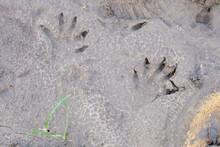Raccoon Pawprints In Wet Sandy Soil
