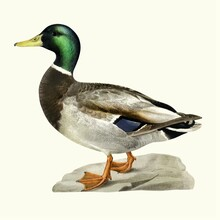 Mallard Duck Isolated On White Background