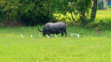 Thai Buffalos And Farm Animals