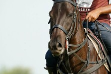 Polo Horse On The Field