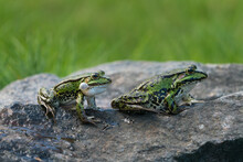 Side View Of Two Cute Green Frogs And One Og Them Has Inftated Vocal Sacs