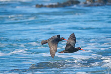 Oyster Catchers Flying Over The Ocean, Along The Coast Of South Africa