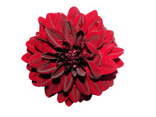 A Black Dahlia Flower Stands On A White Background. Top View . Dark Red Flower