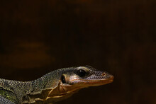 Close-up On A Dark Monitor Lizard In The Park.