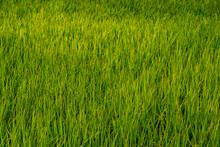 Green Rice Field In Organic Farmland In Rural