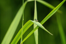 A Small Damselfly Resting On The Long Green Grass Under The Shade