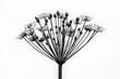 canvas print picture - Doldenblüte isoliert monochrom