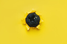 A Funny Black Cat Squeezes In And Looks Through A Hole In Yellow Paper.Naughty Pets And Mischievous Domestic Animals. Peekaboo. Copy Space.