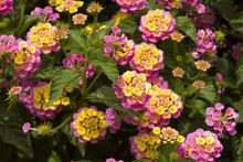 Lantana Camara L In Guatemala Garden, Flower Called Seven Negritos